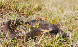 Plain-bellied water snake Stock Photography