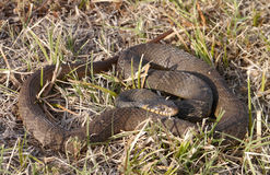 Nerodia erythrogaster. Commonly known as the plain-bellied water snake or plainbelly water snake, is a familiar species of mostly aquatic, nonvenomous royalty free stock photo