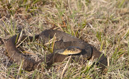 Plainbelly water snake Stock Images