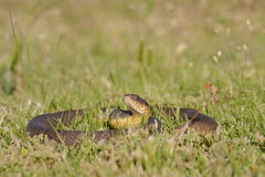 Water Snake Stock Images