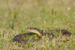 Nerodia erythrogaster. Commonly known as the plain-bellied water snake or plainbelly water snake, is a familiar species of mostly aquatic, nonvenomous royalty free stock images
