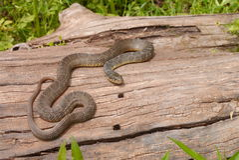 Plain-bellied water snake stock image