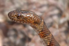 Northern Water Snake (nerodia sipedon). Sunning itself in spring stock image