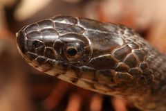 Northern Water Snake (nerodia sipedon). Sunning itself in spring royalty free stock photos