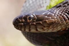 Northern Water Snake (nerodia sipedon). Sunning itself in spring royalty free stock image