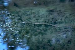 Northern water snake, Nerodia sipedon, swimming in pond, Belding Preserve, Vernon, Stock Images