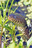 Northern Water Snake. Peaking through the grass royalty free stock images