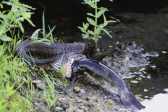Northern Water Snake swallowing fish. At Great Meadows National Wildlife Refuge stock images