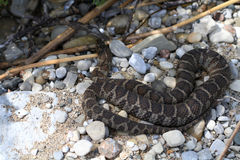 Northern Water Snake. Warming in summer sun stock photos