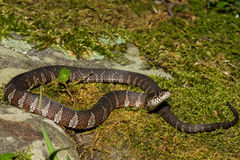 Northern Water Snake Royalty Free Stock Photos
