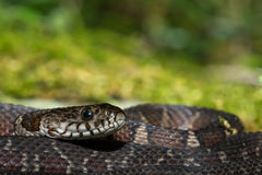 Northern Water Snake. A Northern Watersnake on a moss covered stone stock photos