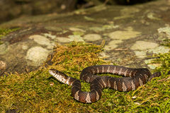 Northern Water Snake. A Northern Watersnake on a moss covered stone royalty free stock images
