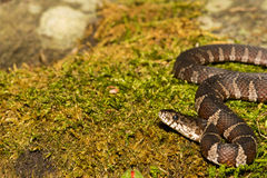 Northern Water Snake. A Northern Watersnake on a moss covered stone royalty free stock image