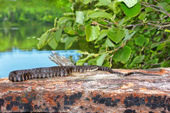 Northern Water Snake Wisconsin Stock Photo