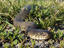 Northern Watersnake royalty free stock photography