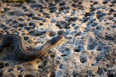 A Northern Watersnake on a rock stock images