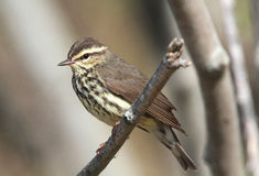 Northern Waterthrush Stock Images