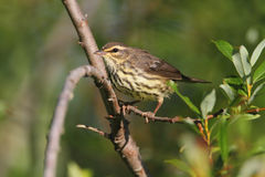 Northern Waterthrush Stock Photography