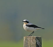 Northern Wheatear. Male Northern Wheatear summer migrant in full breeding plumage, during May in Scotland Royalty Free Stock Images