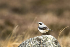 Northern Wheatear. Sitting on a rock Stock Photography