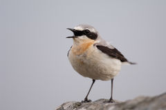 Northern wheatear Stock Photo