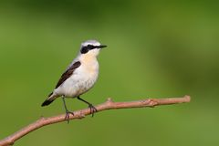 Northern Wheatear Royalty Free Stock Photography