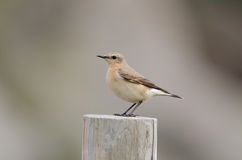 Northern wheatear Royalty Free Stock Photos