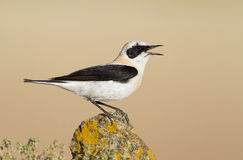 Northern Wheatear. Singing over a yellow stone Stock Photography
