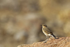 Northern Wheatear. Is perching on a piece of rock Royalty Free Stock Image