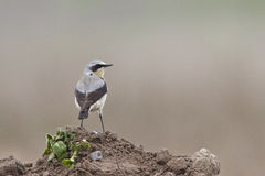 Northern Wheatear Royalty Free Stock Images