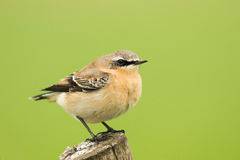 Northern Wheatear. A Northern wheater spotted in germany Stock Photo
