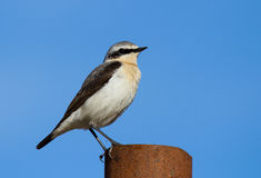 Northern wheatear. On the blue sky background Stock Image