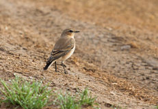 Northern wheatear. On the ground Stock Photo