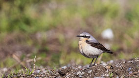Northern Wheatear on Ground Royalty Free Stock Image