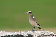 Northern wheatear juvenile Royalty Free Stock Photos