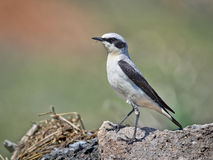 Northern Wheatear. Male Stock Photos