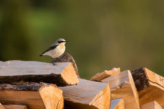 Northern Wheatear. Male Northern Wheatear standing on a woodpile Stock Images