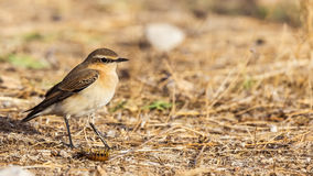 Northern Wheatear and Millepede Stock Photos