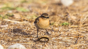 Northern Wheatear and Millepede Royalty Free Stock Photos