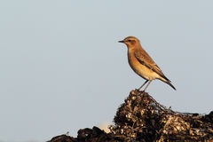 Northern Wheatear (Oenanthe oenanthe). On the beach in Heligoland Royalty Free Stock Photos
