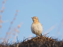 Northern Wheatear, Oenanthe oenanthe Stock Photography