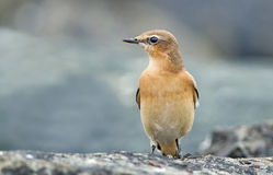Northern wheatear, oenanthe oenanthe Royalty Free Stock Photos