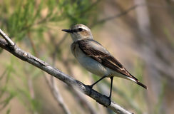 Northern Wheatear (Oenanthe oenanthe) Royalty Free Stock Photo