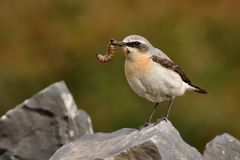 Northern Wheatear (Oenanthe oenanthe). With the caterpillar during its chicks feeding. Sitting on the stone on rocky place Stock Image