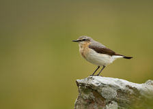 Northern wheatear (Oenanthe oenanthe) Stock Images