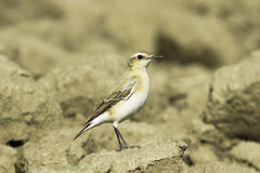 Northern wheatear / Oenanthe oenanthe Stock Photography