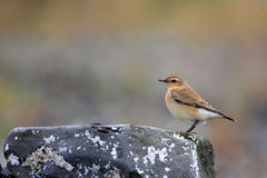 Northern Wheatear Stock Images