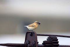 Northern Wheatear Royalty Free Stock Image