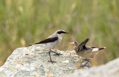 Northern wheatear, Oenanthe oenanthe, a male bird in breeding plumage, about to feed its young fledgling with an insect. Stock Photo
