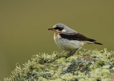 Northern wheatear (Oenanthe oenanthe) Stock Photos